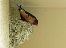 在泥巢的家燕在房檐下 库存图片