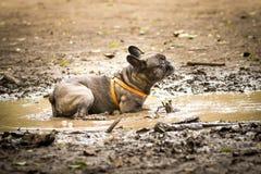 在泥水坑的法国牛头犬  免版税图库摄影