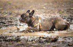 在泥水坑的法国牛头犬  库存照片