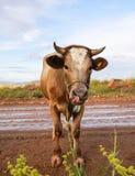 在泥泞的土路的好奇滑稽的棕色母牛 图库摄影