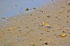 在泥泞的海岸的共同的矶鹞 免版税库存照片