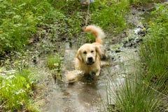 在泥泞的水坑的金毛猎犬狗 库存照片