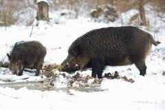 在泥泞的水池的野公猪 图库摄影