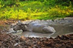 在泥浆坑沐浴的水牛城 免版税库存照片