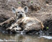 在泥的一条肮脏的鬣狗由小河 库存图片