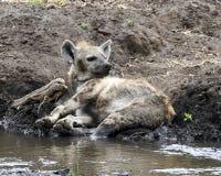 在泥的一条肮脏的鬣狗由小河 图库摄影
