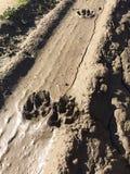 在泥的动物爪子标记 免版税库存图片