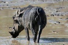 在泥的年轻男性非洲warthog 免版税图库摄影