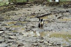 在泥的护羊狗 库存照片