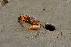 在泥的招潮蟹 库存照片