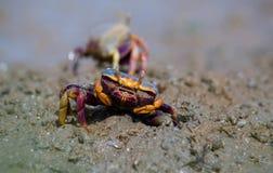 在泥的招潮蟹类pugnax 免版税库存图片