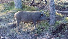 在泥的美丽的大长毛的家养的猪为她的成交去 免版税库存照片
