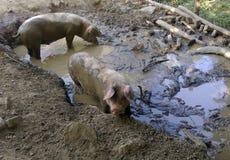 在泥的肮脏的猪 库存图片
