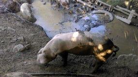 在泥的肮脏的猪 图库摄影