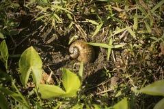 在泥的苹果计算机蜗牛在湖Kissimmee公园,佛罗里达 图库摄影