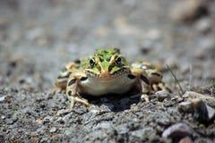 在泥的青蛙 库存照片