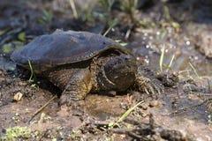在泥的鳄鱼海龟 库存图片