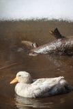 在泥的鸭子 图库摄影