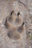 Fox脚印 库存图片
