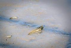 在泥的Mudskipper鱼在美洲红树森林 免版税库存图片