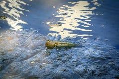 在泥的Mudskipper鱼在美洲红树森林 免版税图库摄影