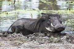 在泥的Warthog 免版税库存照片
