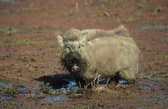 在泥的Warthog 免版税图库摄影