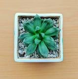 在泥罐和小卵石的绿色多汁植物 在房子植物中顶视图  库存图片