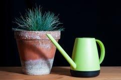 在泥罐的丛生草glauca 免版税库存图片