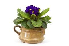 在泥罐的开花的紫色报春花 库存图片