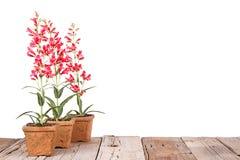 在泥罐的红色花 库存图片