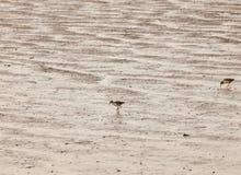 在泥银行哺养的海岸的两只矶鹞 免版税库存照片
