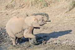 在泥浴的年轻大象 免版税库存图片