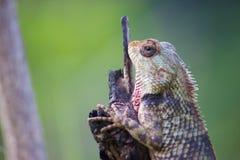 在注册的庭院蜥蜴看的开会公园 免版税库存图片