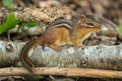 在注册的花栗鼠森林 免版税库存图片