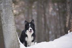 在注意姿势的博德牧羊犬 图库摄影