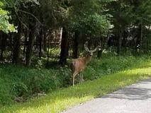 在注意的鹿 库存照片