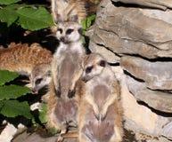 在注意的Meercats在封入物 免版税图库摄影