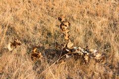 在注视着令人敬畏在冬天季节的早晨的领域的小干燥草本 库存照片