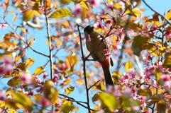 在泰国佐仓花的鸟 免版税库存图片