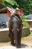 在泰国供以人员在年轻大象,普吉岛海岛的骑马 库存图片