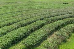 在泰国北部的茶农场 库存图片