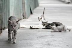 在泰国寺庙的街道猫 免版税库存照片