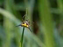 在泰国找到的一只热带蜘蛛 库存照片