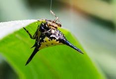 在泰国找到的一只热带蜘蛛 免版税图库摄影