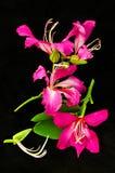 在黑背景的美丽的桃红色花 免版税库存照片