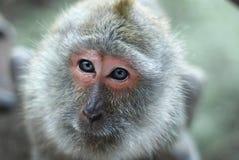 在泰国的一个自然森林里胡闹一张猴子面孔的portraitnClose-up 库存照片