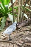 在泰国的中国池塘苍鹭(Ardeola酒神)鸟 库存照片
