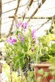 在泰国的兰花耕种 免版税库存图片