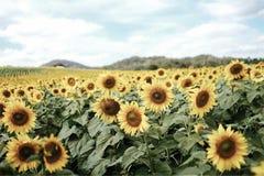 在泰国的向日葵节日 库存图片